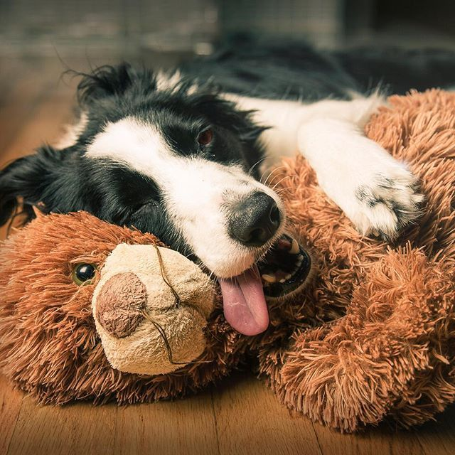 Border Collie Dog Breed Information Dog Breeds Beautiful Dogs