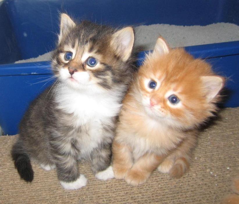 American Curle Cute Kittens Siberian Kittens Kittens Cutest