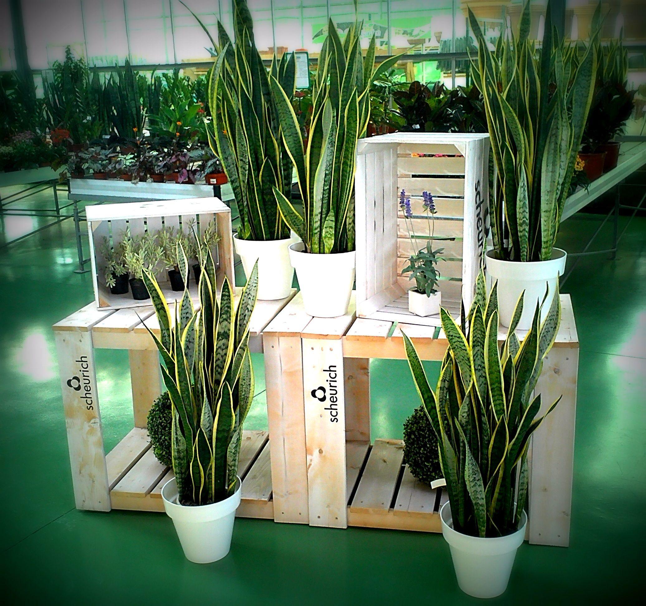 Sanseviera trifasciata laurenti planta de interior fuerte - Luces para plantas de interior ...