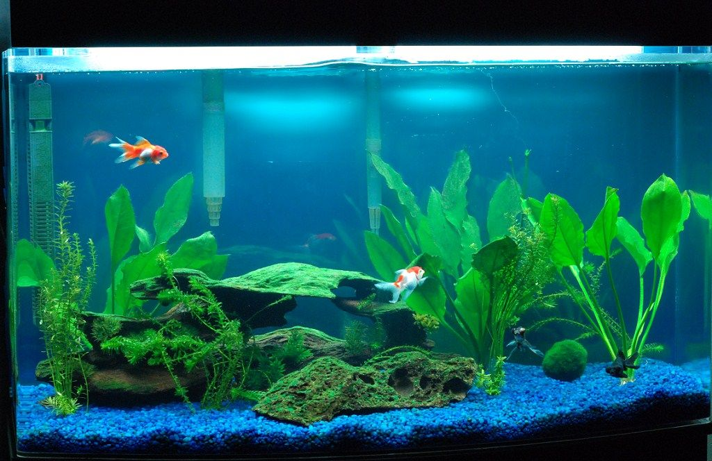 46 bowfront goldfish grazing project like that tank for Fish tank pebbles