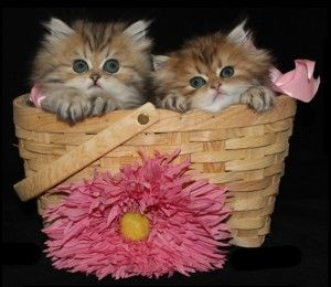 Teacup Kittens for Sale, Persian Kittens for Sale, Doll Face
