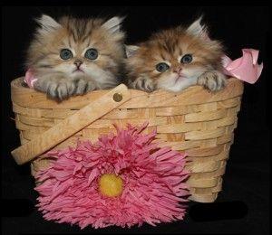 Persian kittens for sale in cincinnati ohio
