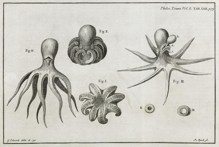 Octopus brain anatomy