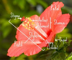 Parts of a hibiscus flower classroom pinterest hibiscus flowers parts of a hibiscus flower ccuart Image collections
