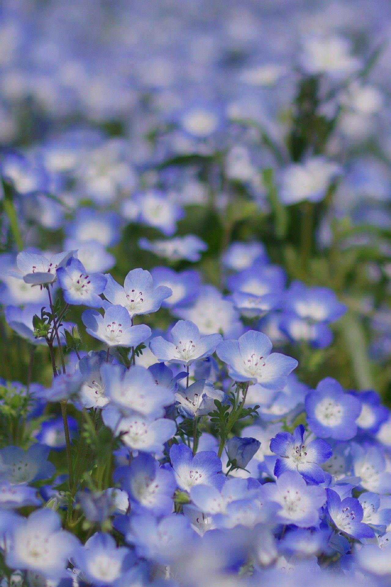 ネモフィラ Baby Blue Eyes Five Spot Nemophila ひたち海浜公園