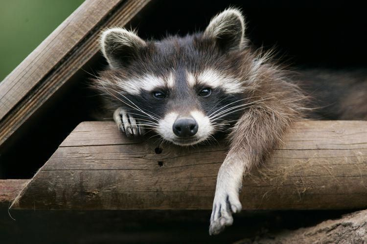 How can i get rid of raccoons under my deck