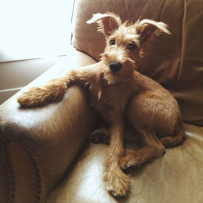 Irish Terrier Dog Breed Information Pictures Characteristics Facts Dogtime Pets Cute Dogs Dog Love