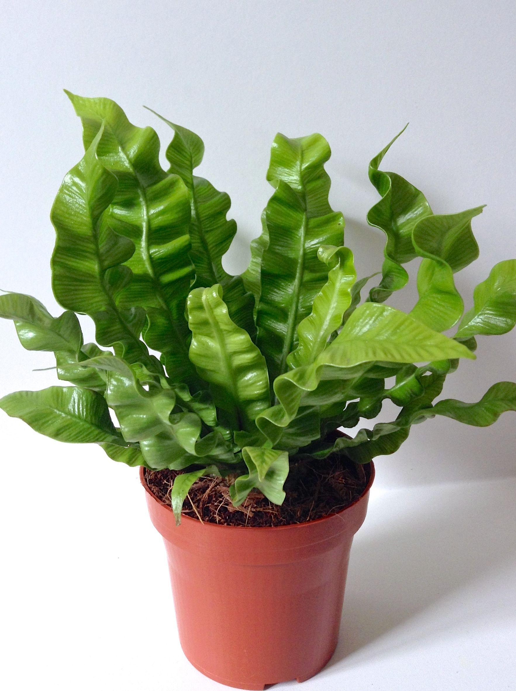 Best Kitchen Gallery: Asplenium Nidus Lasagna Fern Interiorscape Plants Id of House Plant Identifier By Leaf on rachelxblog.com