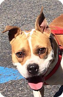 Albemarle, NC - Bulldog/Boston Terrier Mix. Meet Kylie, a dog for adoption. http://www.adoptapet.com/pet/12925319-albemarle-north-carolina-bulldog-mix