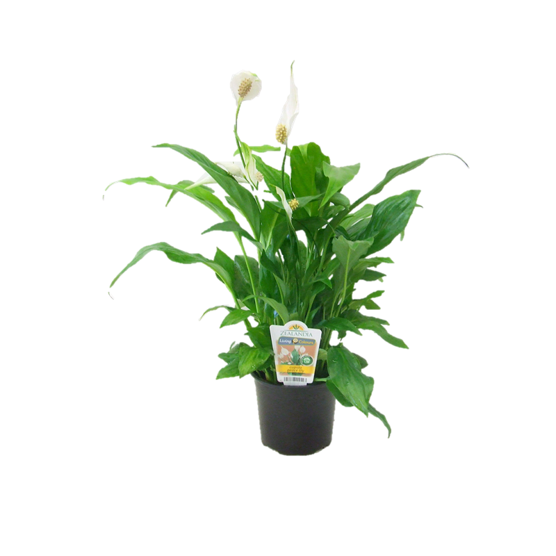 12cm Cupido Peace Lilly Spathiphyllum cochlearispathum