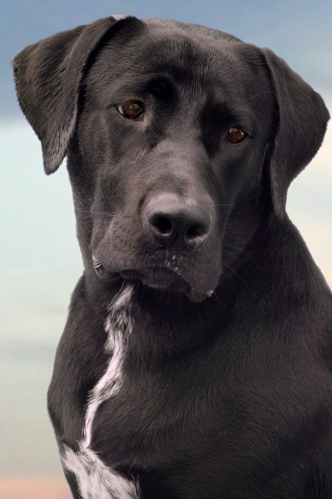 Dog Model Strikes A Pose Labrador Great Dane Mix