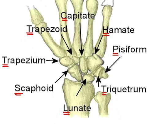Carpal Bones She Liked To Play Try To Catch Her Radical Rad