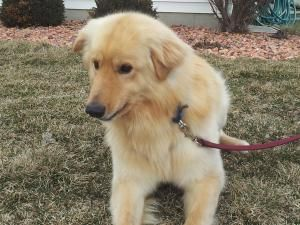 Adopt Bart Leo On Dogs Golden Retriever Golden Retriever