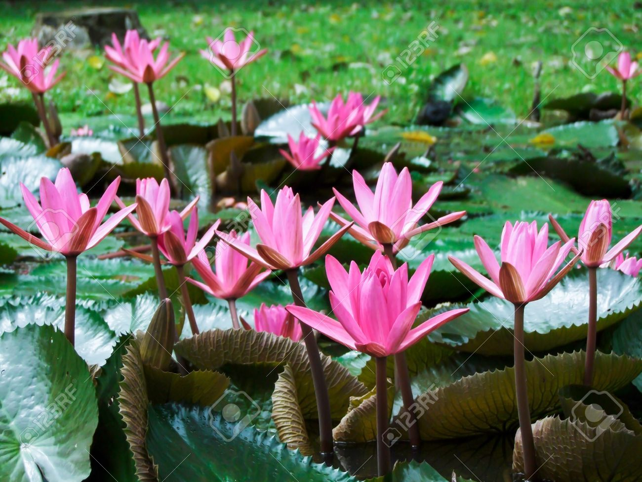 12155209 Pink Lotus Blossoms Or Water Lily Flowers Blooming On Pond