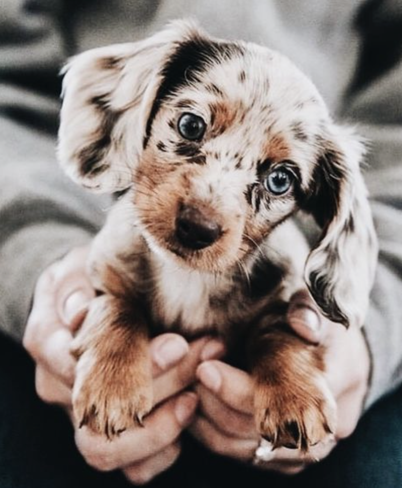 Mini Dapple Spotted Dachshund With Blue Eyes In 2020 Cute Animals Puppies Cute Dogs