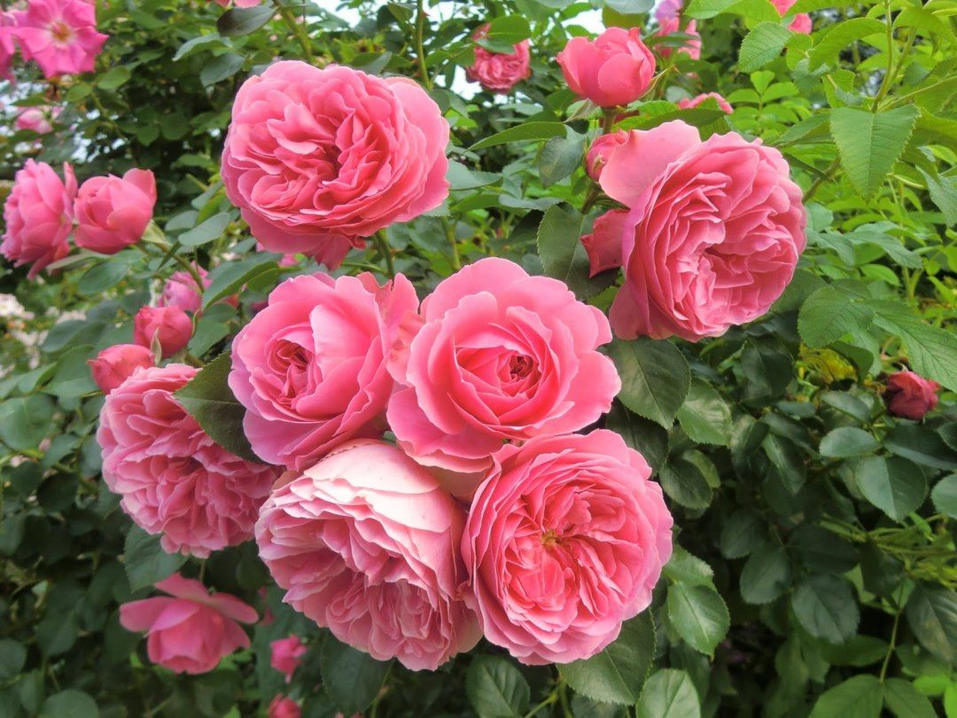 Pin By Semuel On Wallpapers Pinterest Flowers Pink Roses And