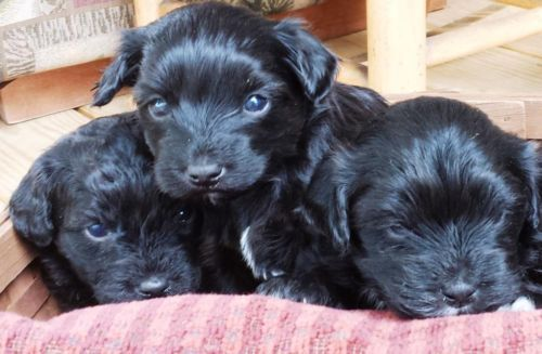 Adorable Shorkie Poo Pups Shih Tzu Yorkie Poodle 1 Female