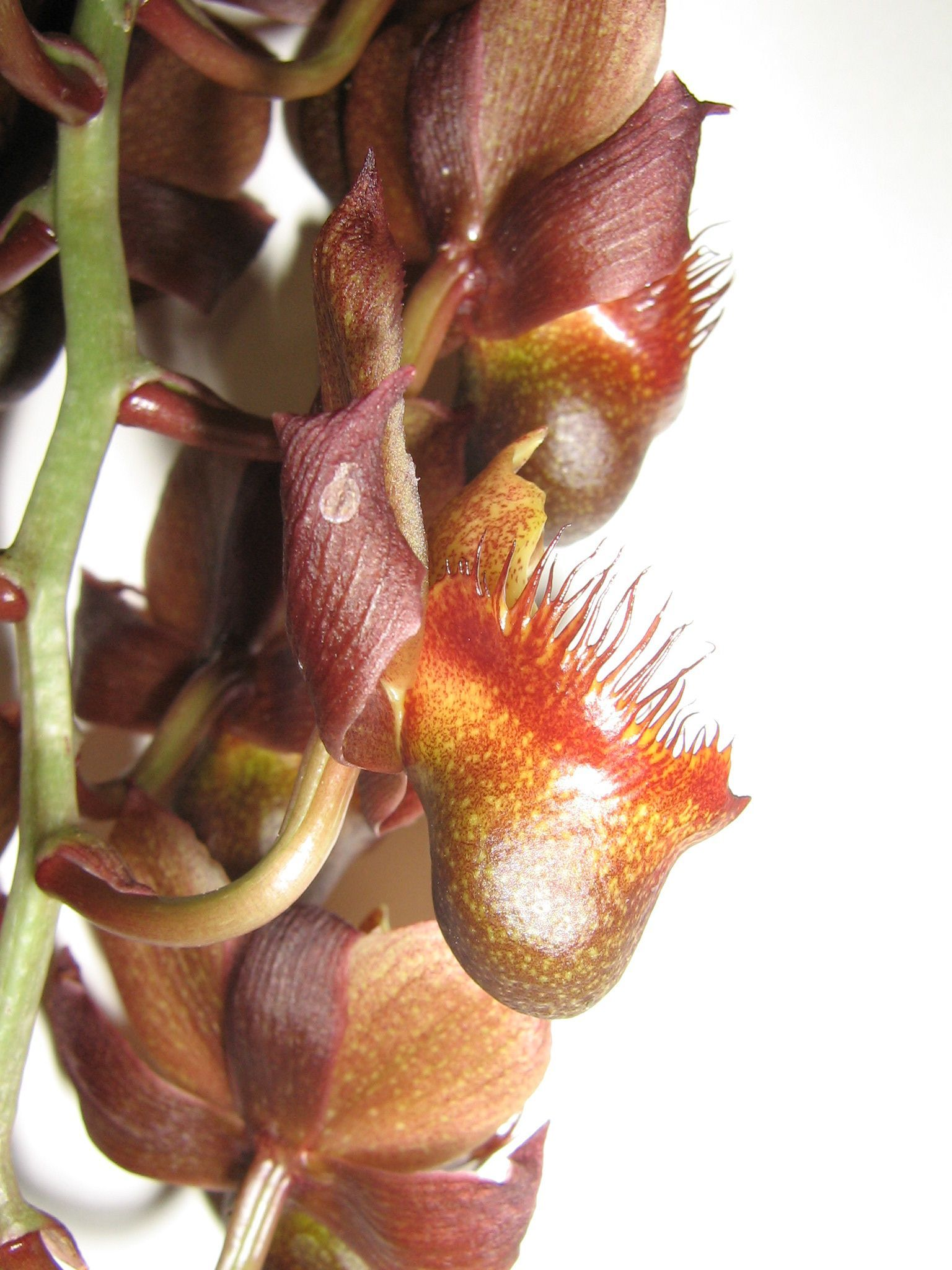 Catasetum apolloi - Male flowers in side-view