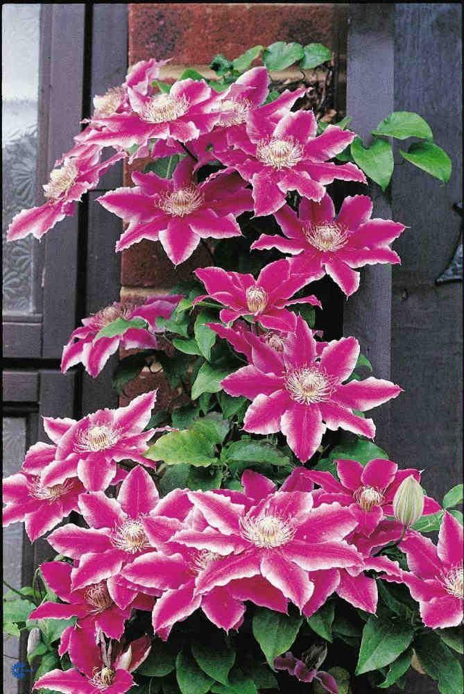 clematis 39 dr ruppel 39 planted for valerie gardens ours. Black Bedroom Furniture Sets. Home Design Ideas