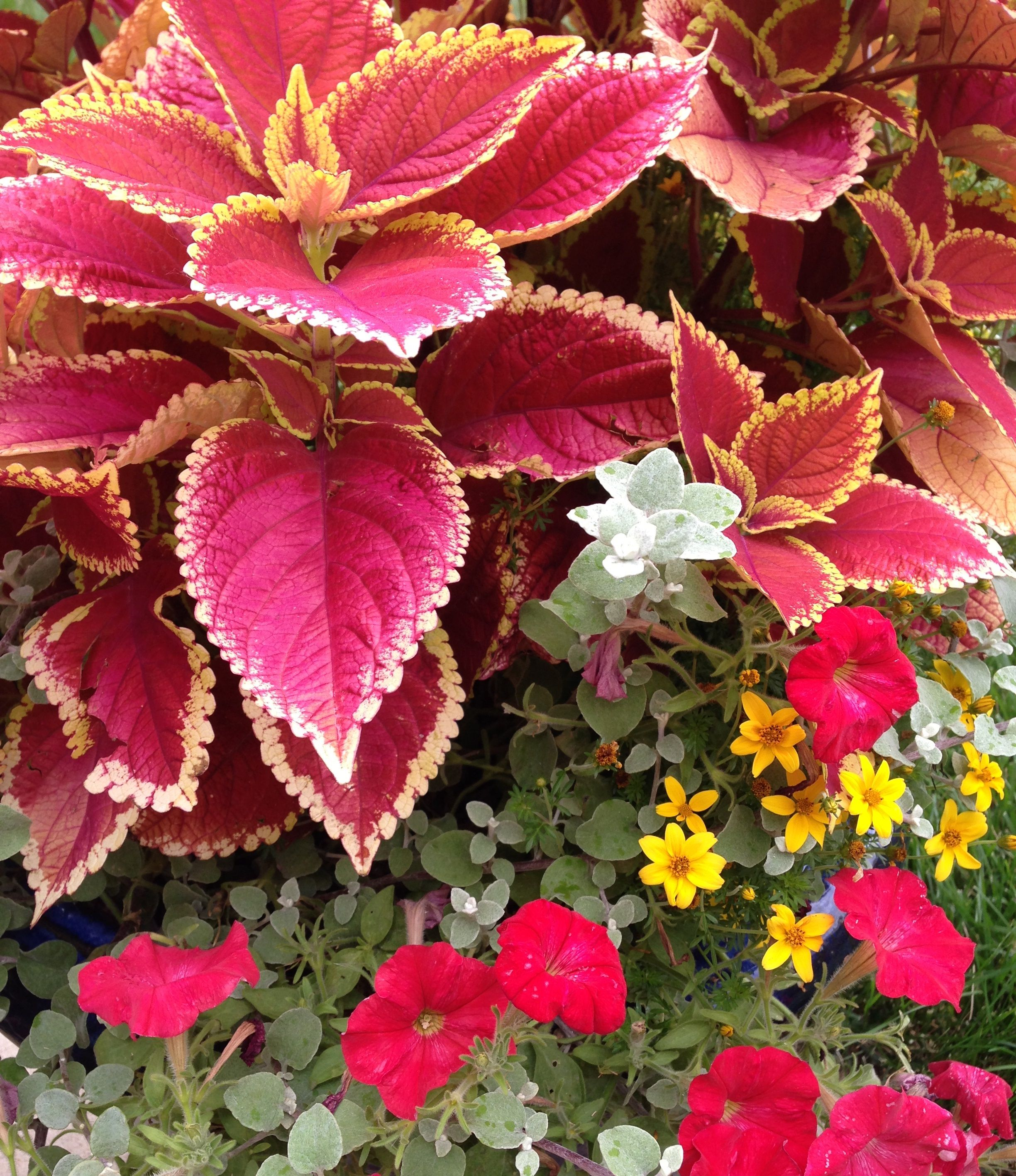 A coleus - the star of this container - is surrounded by a pretty supporting cast. #coleus #containergarden
