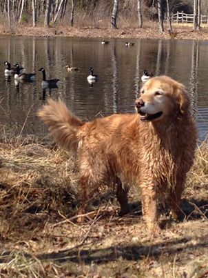 Griffindor After A Spring Swim Dogs Golden Retriever Dog Love Golden Retriever
