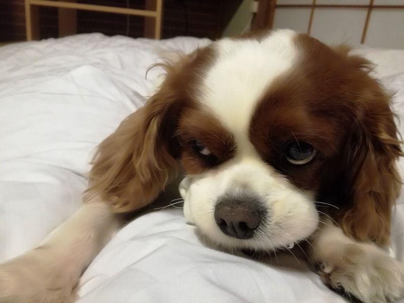 犬連れ旅行 おでかけ おすすめ 関東 千葉 しぶごえ館 まちろブログ 犬 旅行 キャバリア