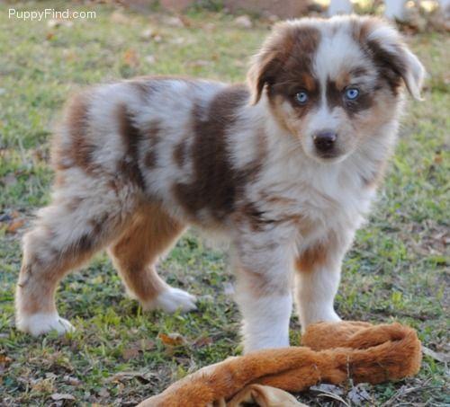 Miniature Australian Shepherd Pets Puppies Cute Dogs