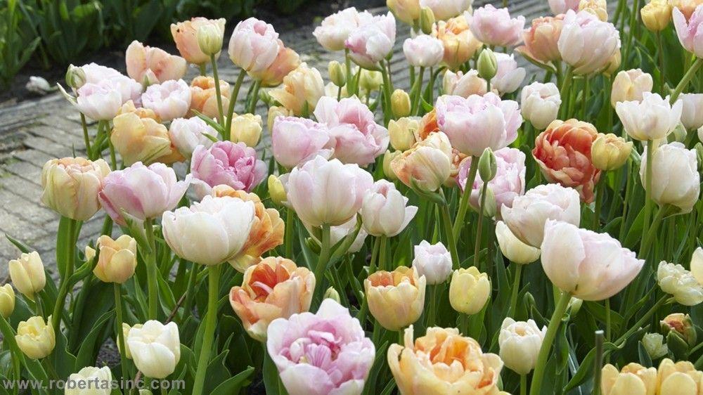 Dutch Master's Pastel Tulip Collection - 40 pc Set