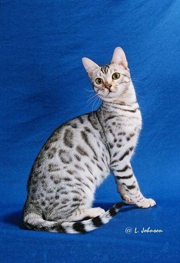 I Love The Coloring On This Savannah Cat Breed Cat Breeds Cats And Kittens Animals Beautiful