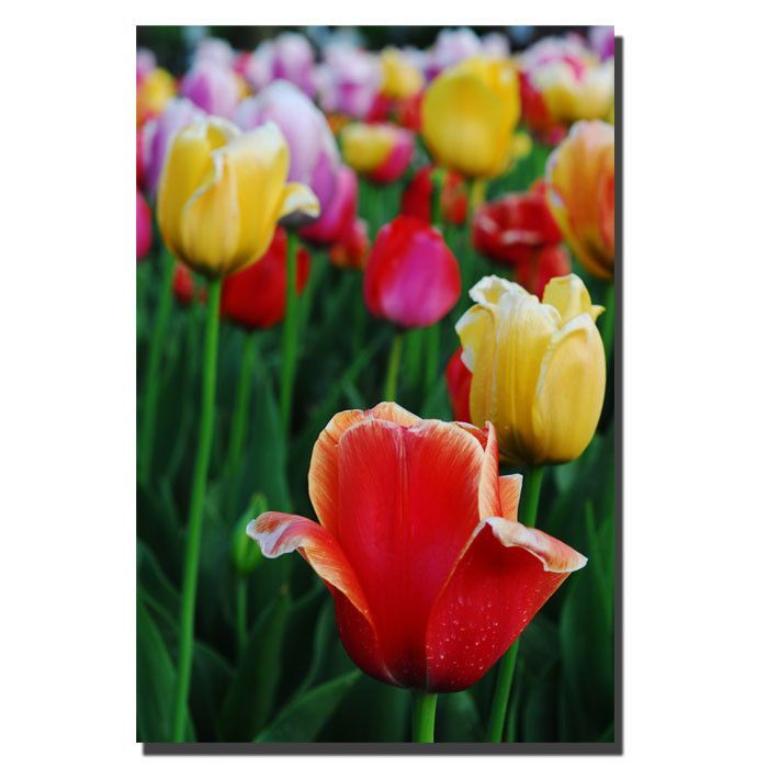 'In Among the Tulips II' by Kurt Shaffer Photographic Print on Canvas