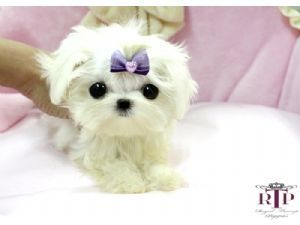 Maltese Puppies For Sale: Precious Micro Tiny Teacup Maltese Extreme