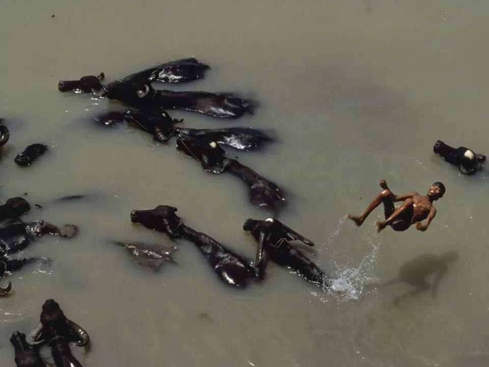 Boy jumps in canal from a Buffalo's back. Bangladesh.