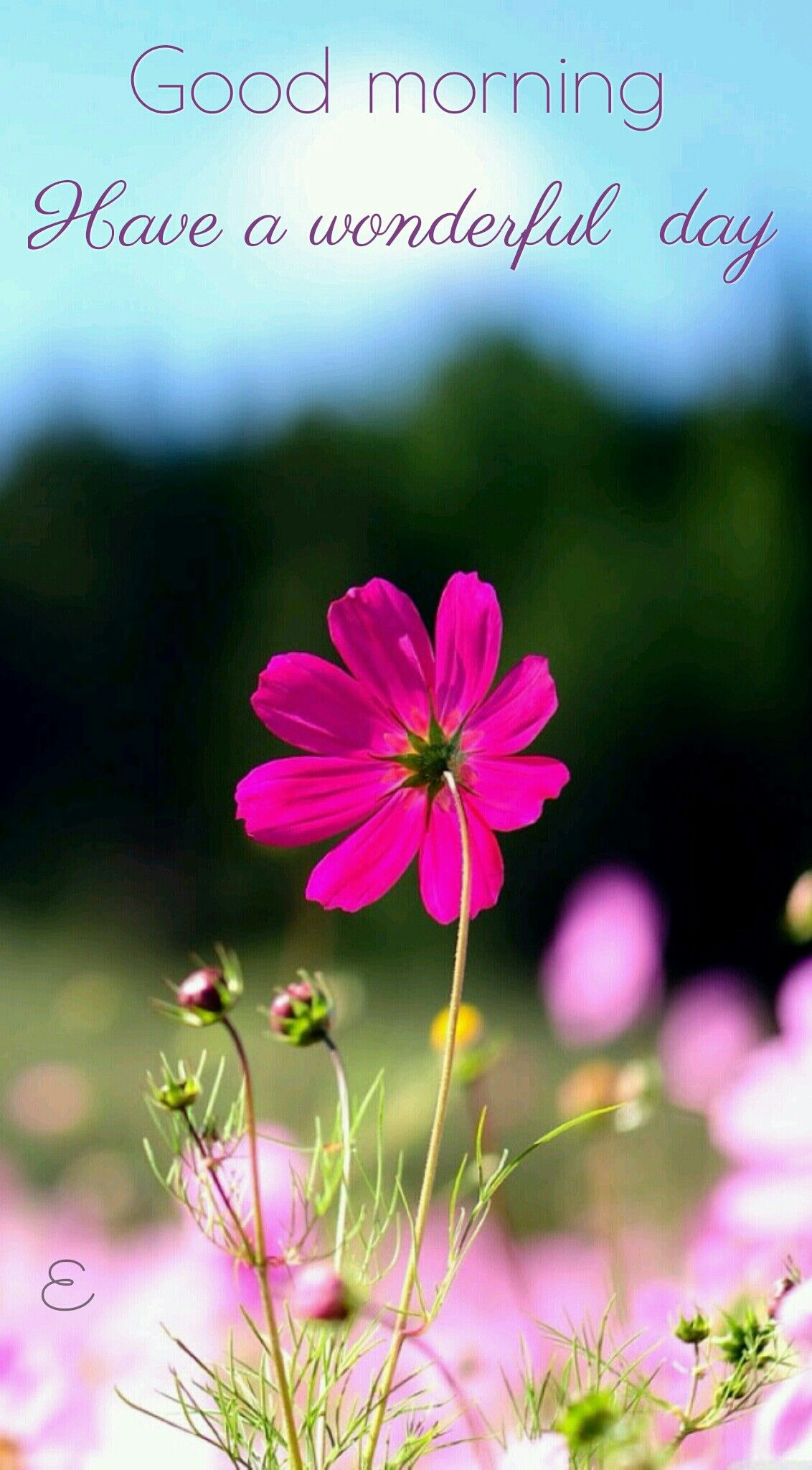 Good morning Cosmos flowers, Pink nature, Flowers