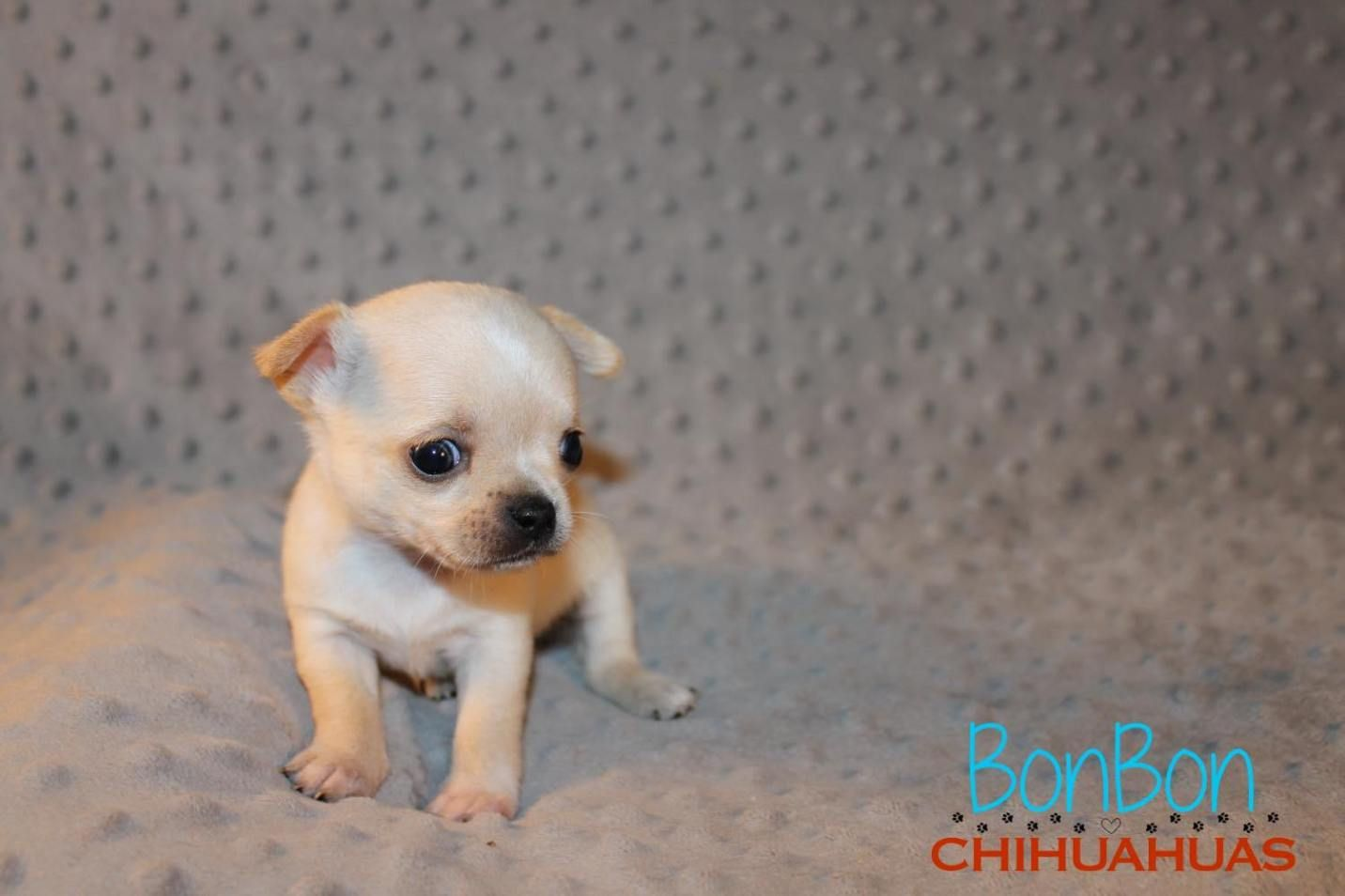 Chihuahua Puppies For Sale Chihuahua Puppies For Sale Chihuahua Puppies Chihuahua