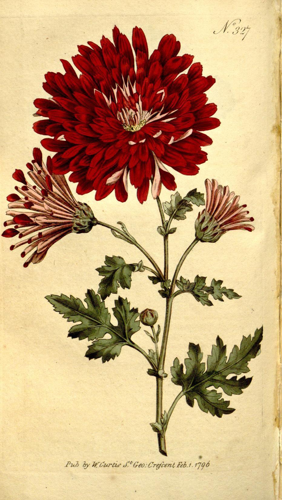Chrysanthemum indicum v the botanical magazine