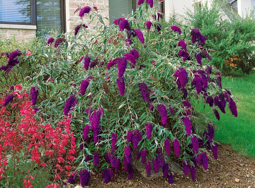 Buddleia Davidii Nanho Purple Komule 20 25 Cm K12 Butterfly Bush Garden Beds Buddleja Davidii