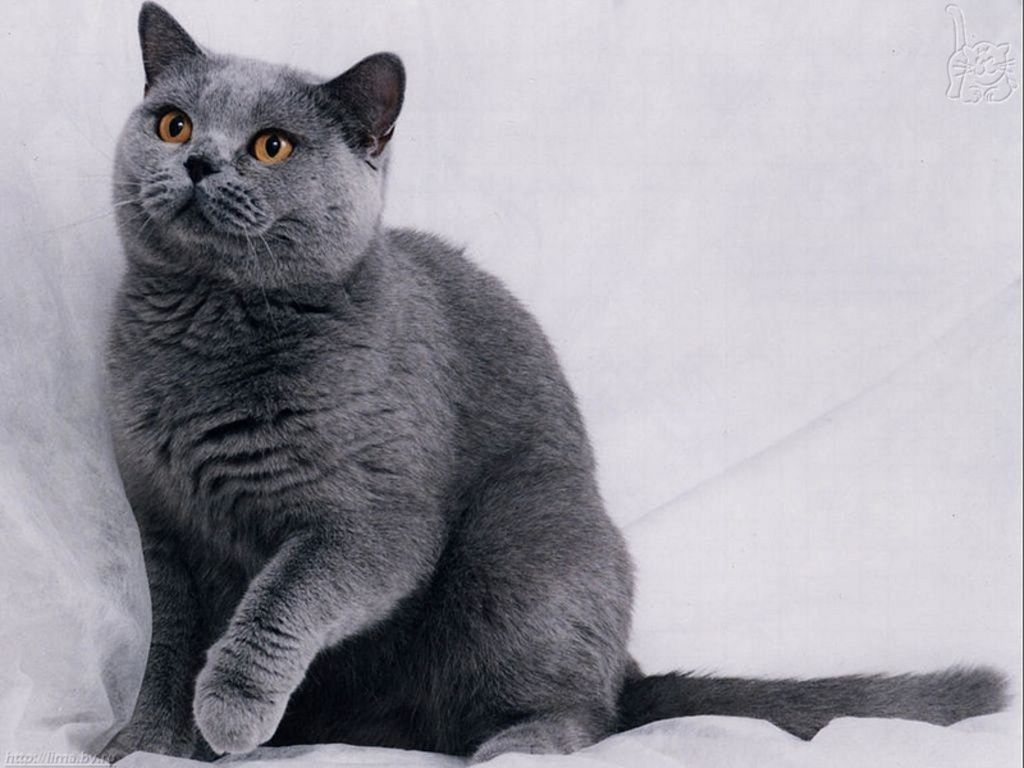 Long Hair Russian Blue Cat American Bobtail Cat British Blue
