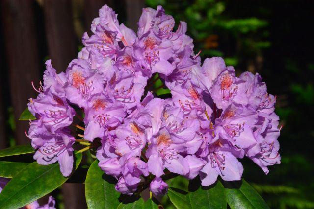 Vielä loistaa rhodo  Grandiflora