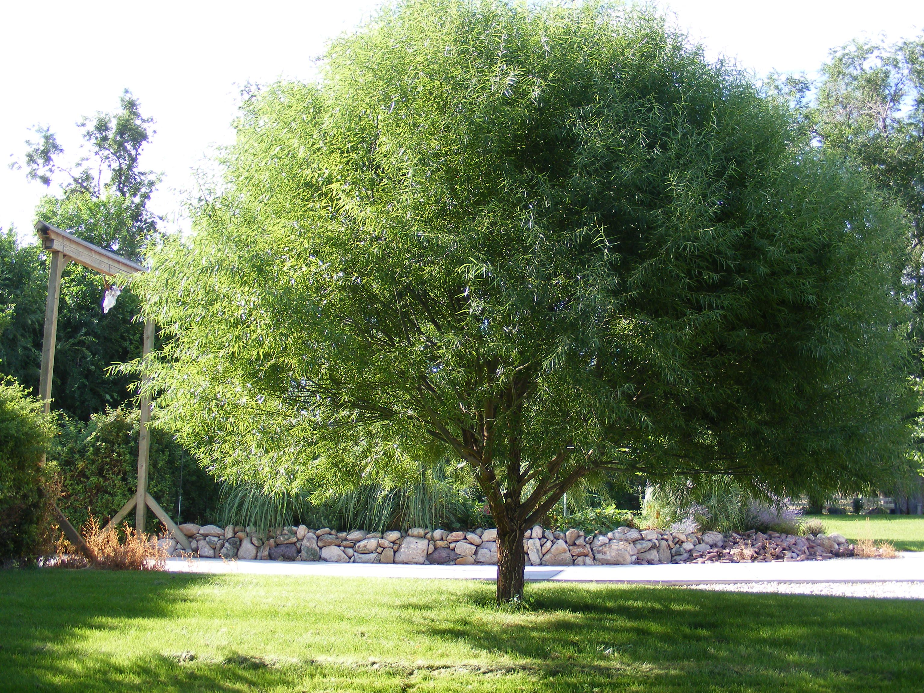 Fast growing Globe Willow by the front driveway | My favorite trees ...