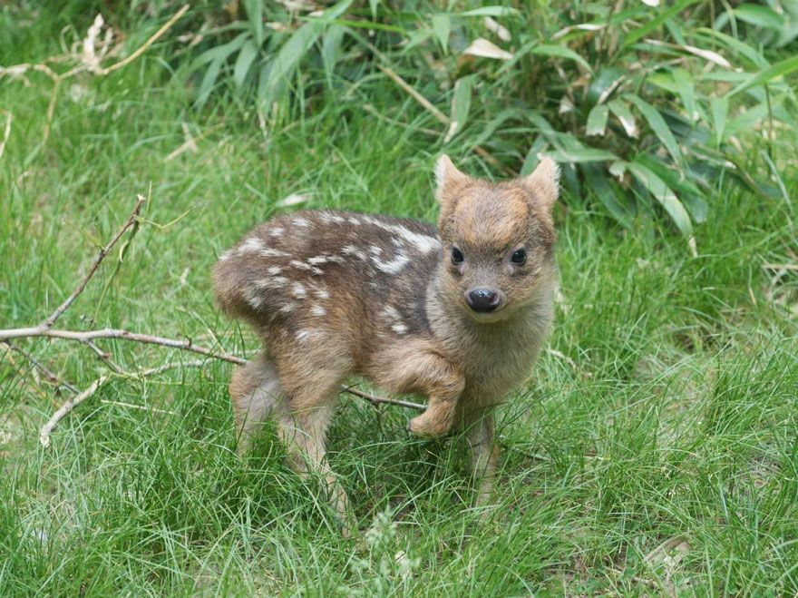 cria-ciervo-pudu-diminuto-zoo-queens (2) | Cute animals. | Pinterest ...