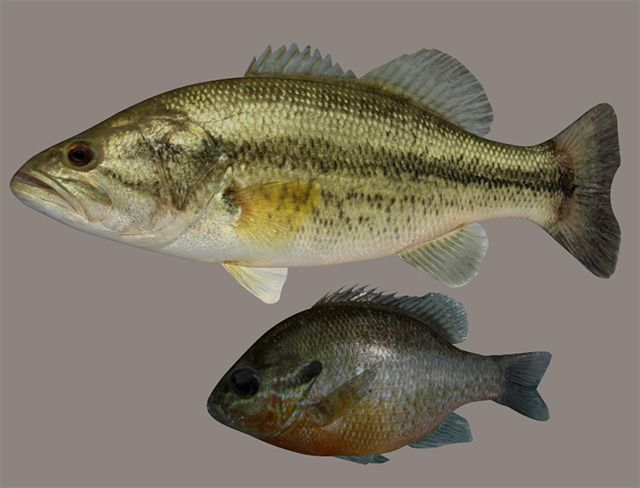 Largemouth Bass And Bream Fish Models With Morphs Poser World Fish Model Largemouth Bass Fish