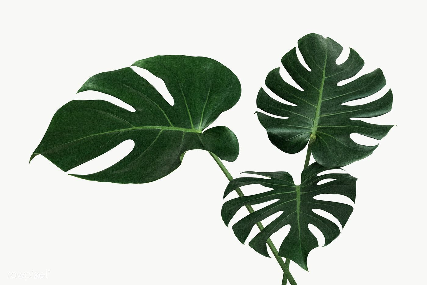 Split Leaf Philodendron Monstera Plant Element Transparent Png Free Image By Rawpixel Com Jira Plant Leaves Monstera Philodendron