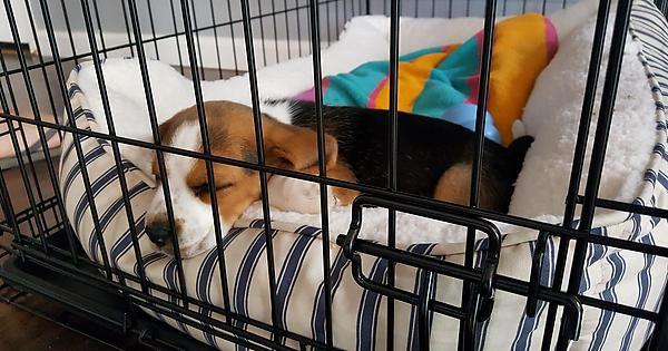 Hello Reddit Meet My Beagle Puppy Oliver Cute Pinterest Beagle
