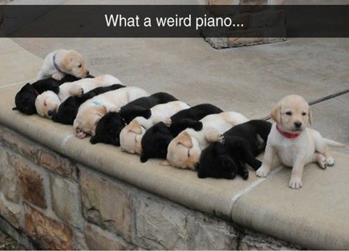 It S A Great Piano Dogmom Dogdad Adoptdontshop Lovedogs