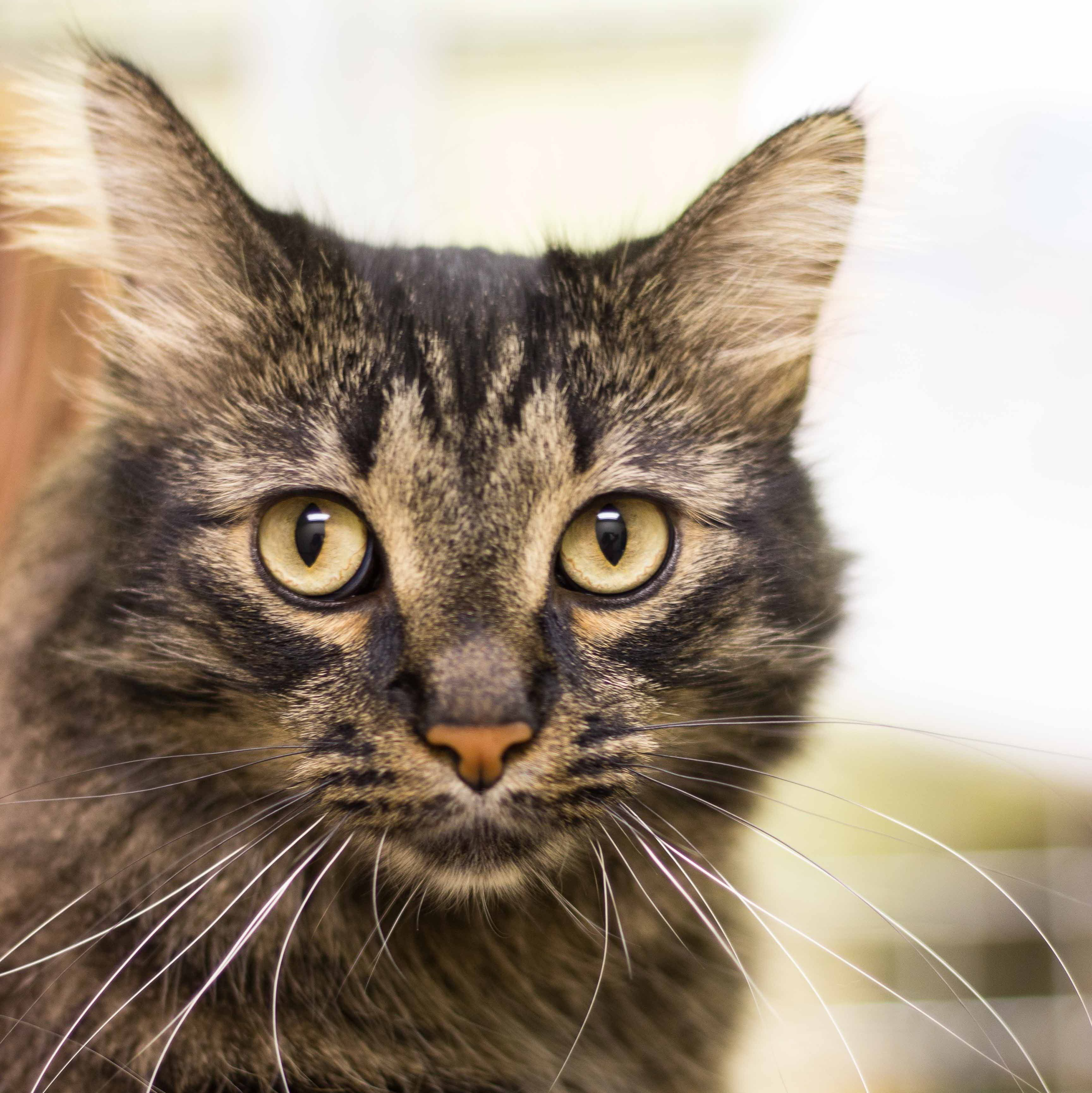 Meet Stewie He Is A Calmer Guy And Would Love To Find A Forever Family Cat Adoption Cat Rescue Cat Safe Plants