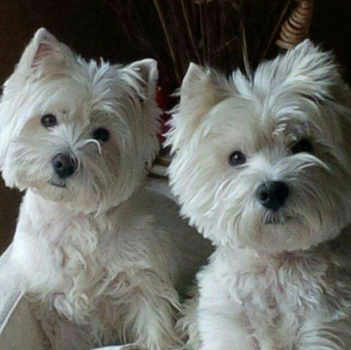 Pin By Malinda Austin On My Besties Are Westies Westie Dogs Westie Puppies Pregnant Dog