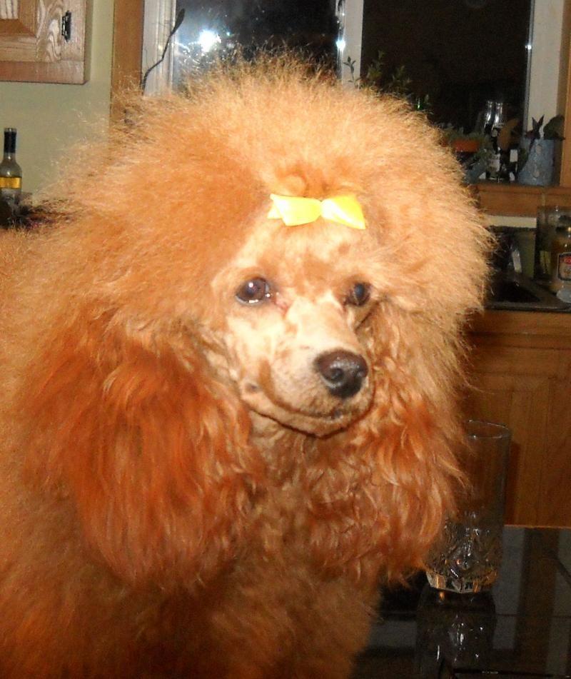 Grandiose Poodles In Gray Maine I Met Rosie One Of