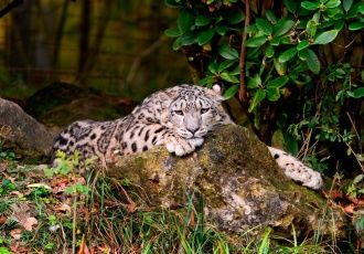 1366x768 Beautiful Snow Leopard Wallpaper
