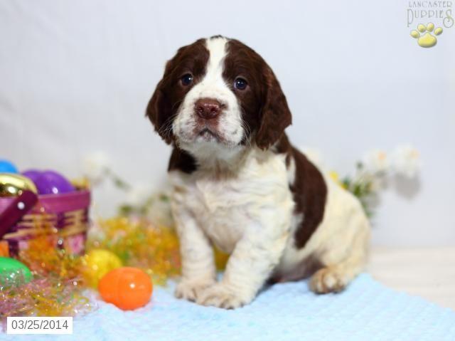 English Springer Spaniel Puppy For Sale In Pennsylvania English