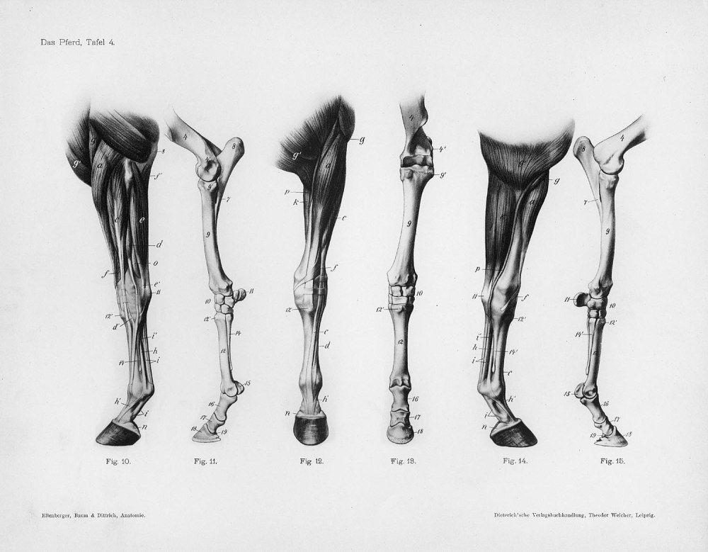 Horse Anatomy By Herman Dittrich Hind Legs: 马的解剖学结构 (Horse Anatomy By Herman Dittrich) - 长微博